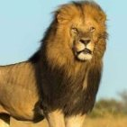 Lion_of_the_Midlands